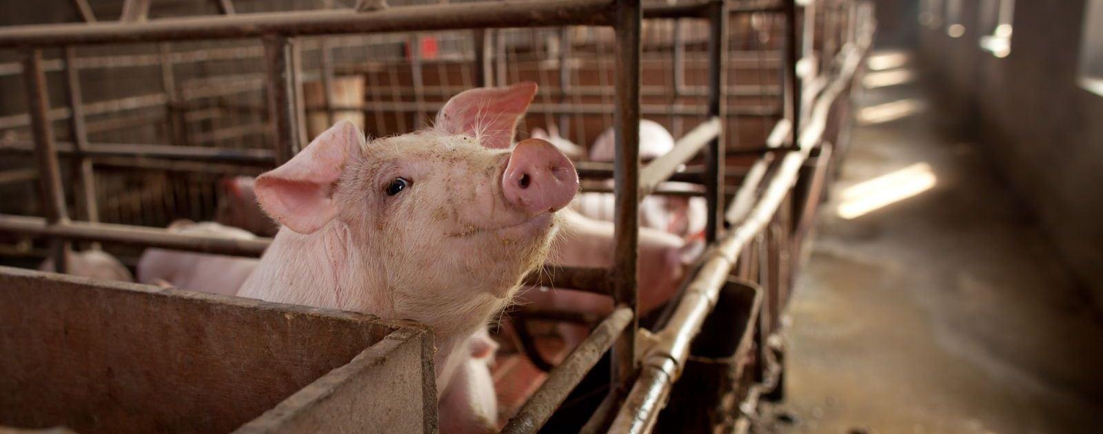 BioSpring Người tiêu dùng ăn phải loại thịt có chất cấm về lâu dài có thể sẽ bị mắc các bệnh ảnh hưởng đến sức khỏe như tăng huyết áp, tim đập nhanh, buồn nôn, đặc biệt có thể gây ung thư