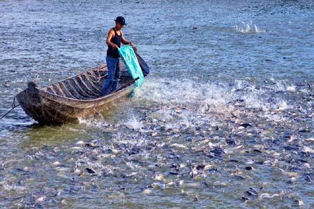 Thức ăn dành cho cá tra giống