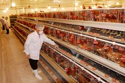 Quy trình kỹ thuật nuôi gà công nghiệp